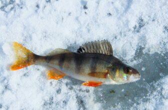 Ловля окуня на вертикальную блесну зимой на озере