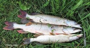 Рыбалка на поверхностные приманки осенью