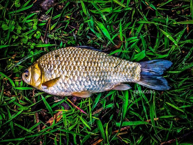 Вкусная грязная рыба