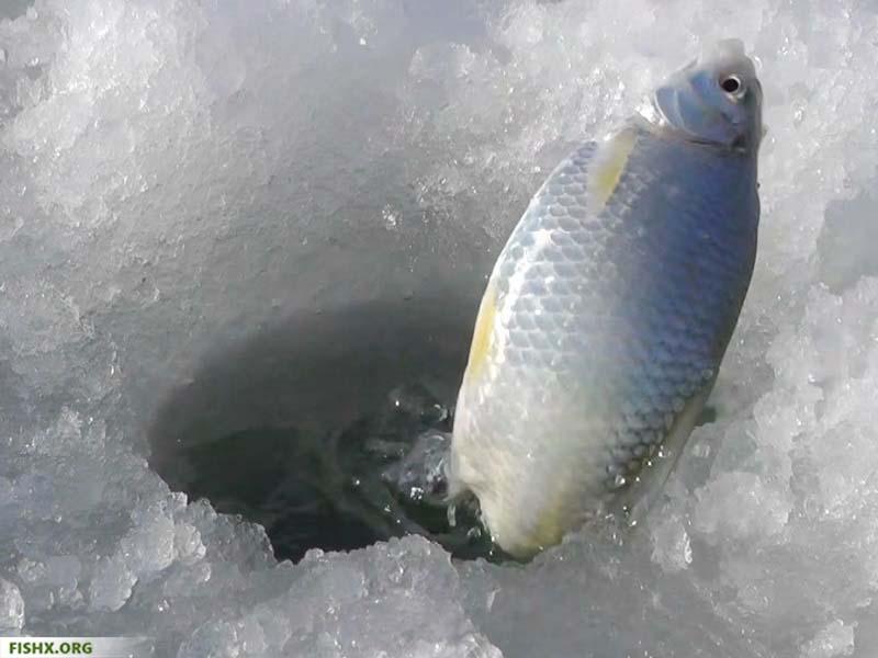Ловля тарани на поплавок зимой
