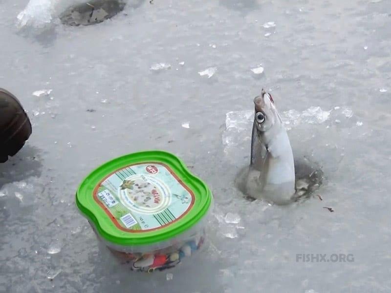 Чехонь со льда весной на«самодур» или «гирлянду»