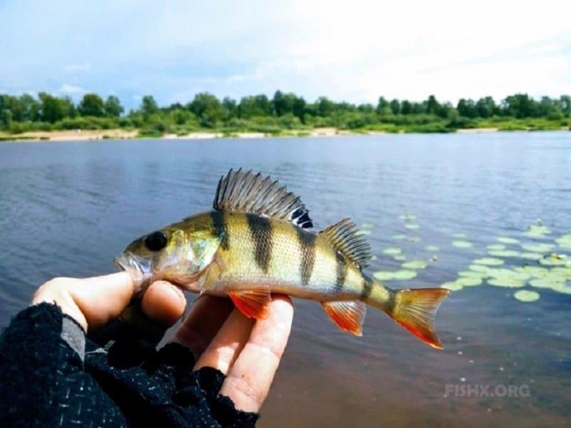 Окунь на микроджиг на реке Везлома