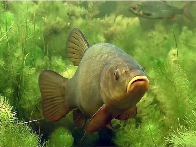 Линь под водой
