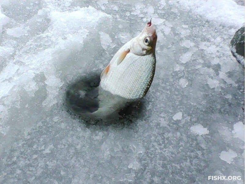 Ловля густеры со льда