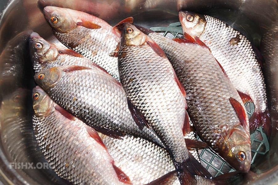 плотву и окуня в Ошле за рыбу не считали