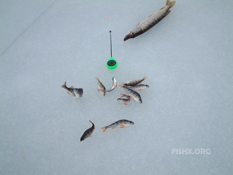 Живец для щуки по первому льду