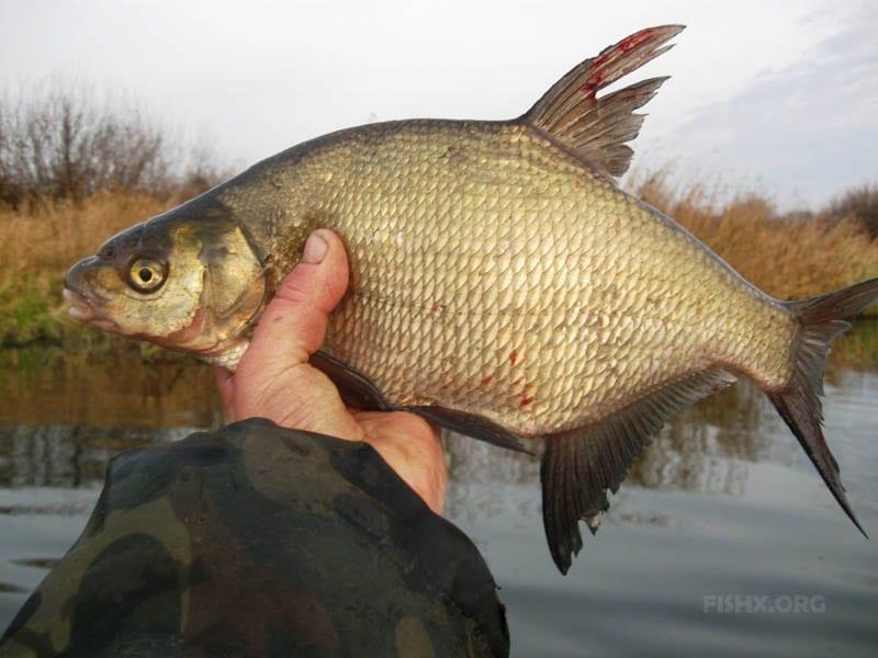 Рыбалка на леща осенью