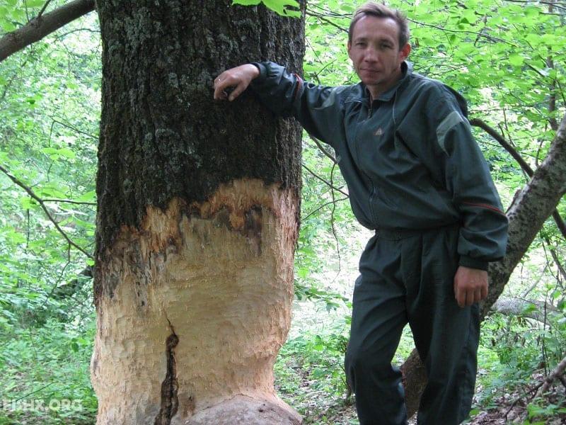 Малая Кокшага у Нольки. Бобры сгрызли дерево