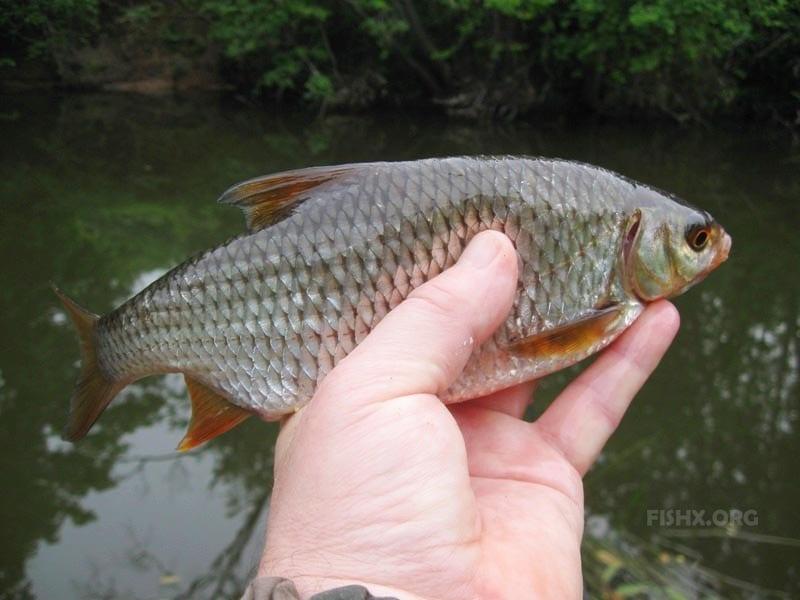 Плотва в руке рыбака