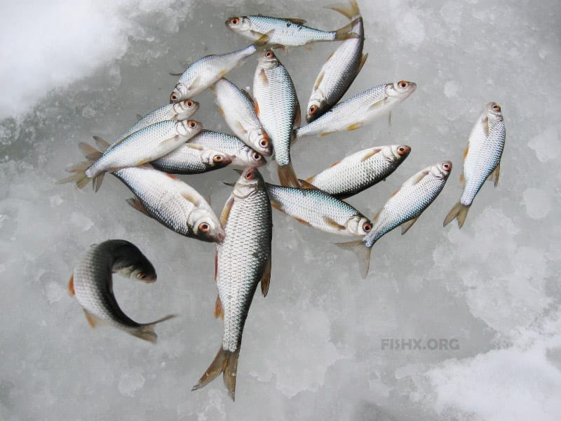 Отчёт о зимней ловле живца