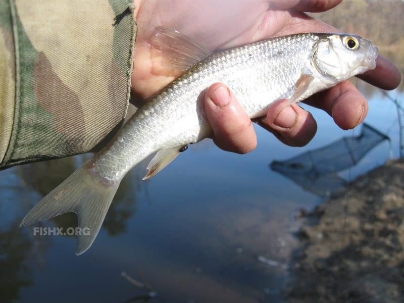 Рыба елец в руках рыбака