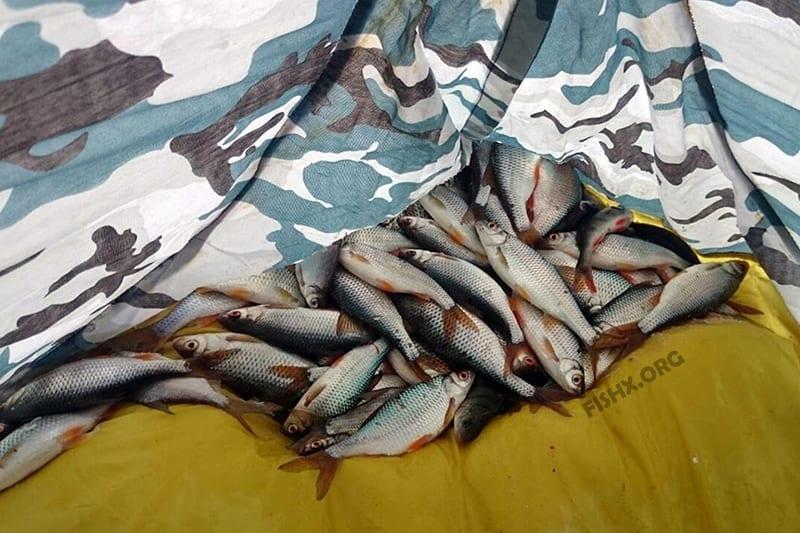 Итог ловли на поплавок: пол сотни плотвичек