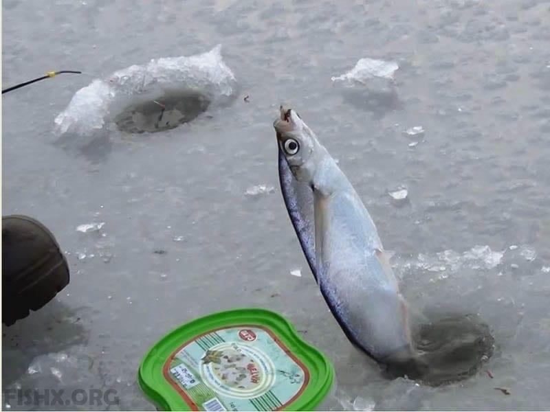 Ловля чехони зимой