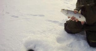 Голавль зимой