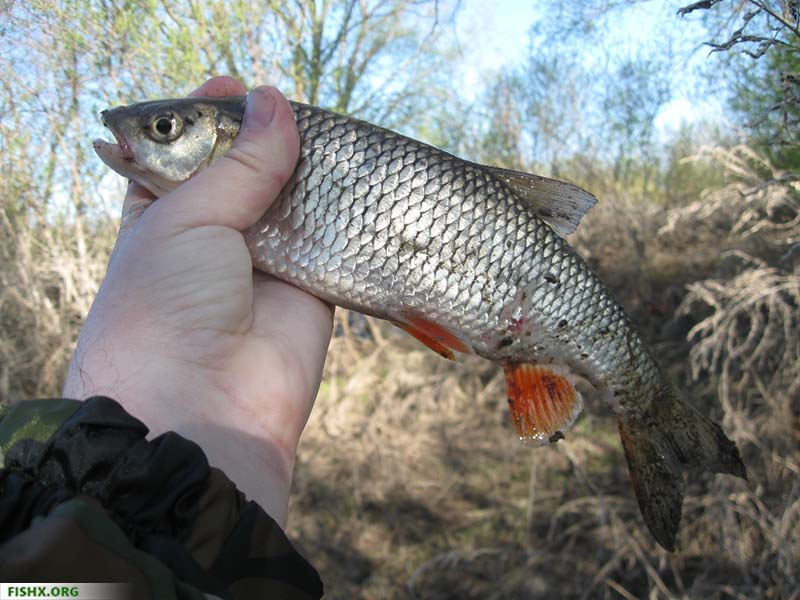 Отчёт о рыбалке, голавль