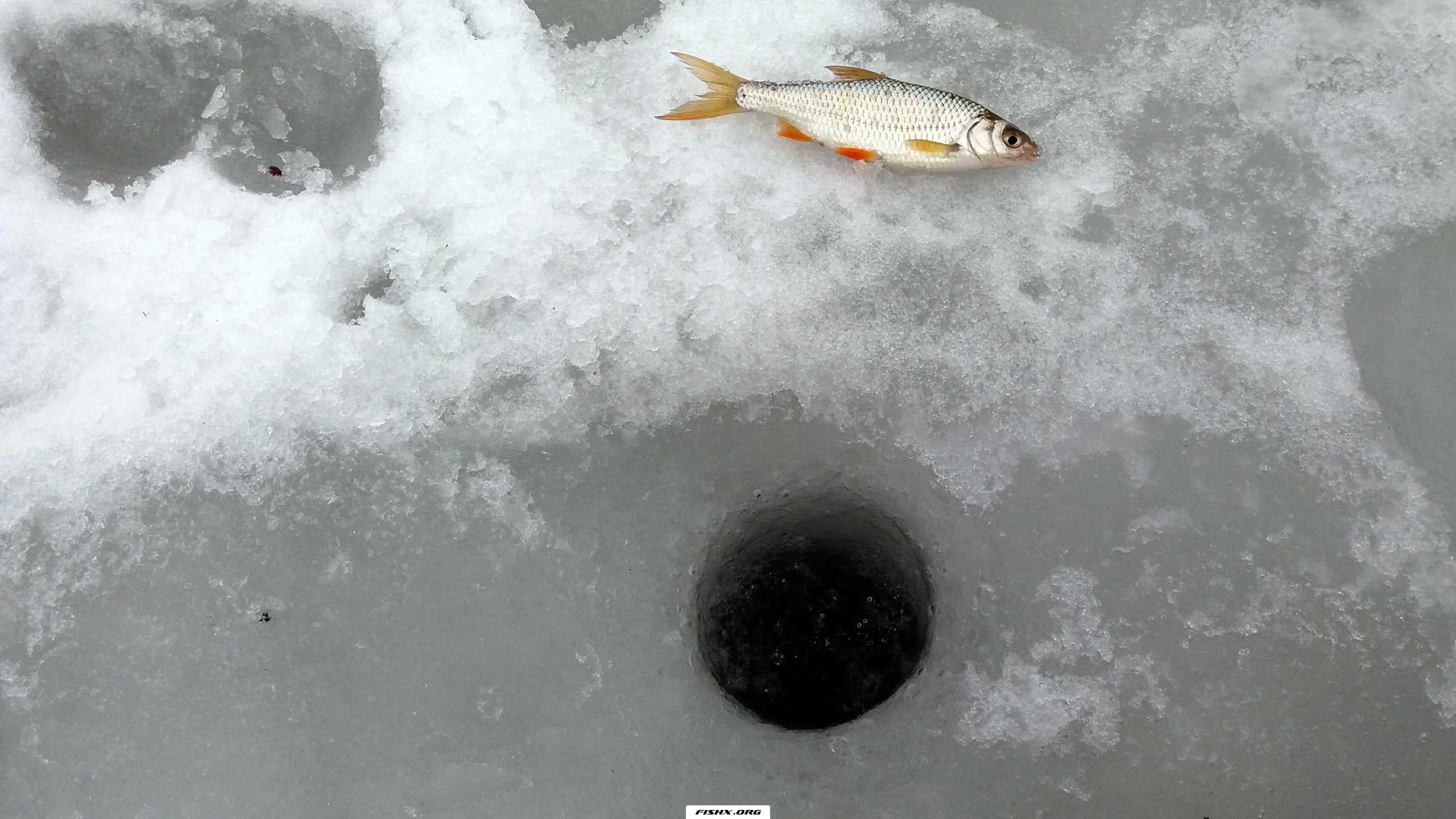 Ловля на навозного червя по последнему льду. Личный опыт