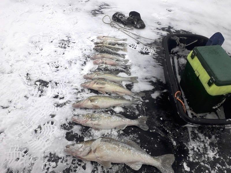 Судаки на льду в декабре