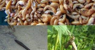 От мормыша до таракана – один шаг