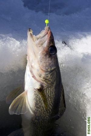 Отвесное блеснение, эффективная техника ловли судака