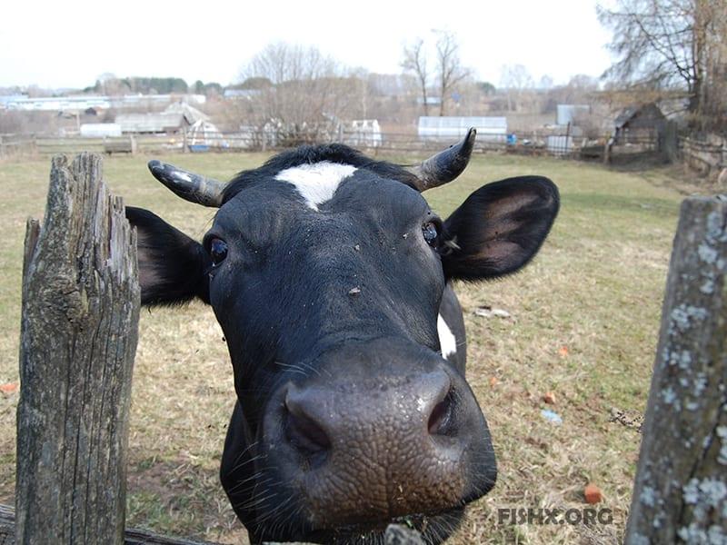 Коровий рог — лучшая приманка для карася